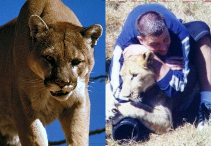 Man RNCs Mountain Lion To Death After Being Attacked